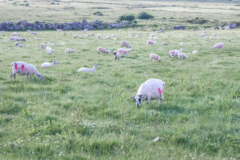 sheep in a green field in the countryside on the slea head drive in dingle in ireland