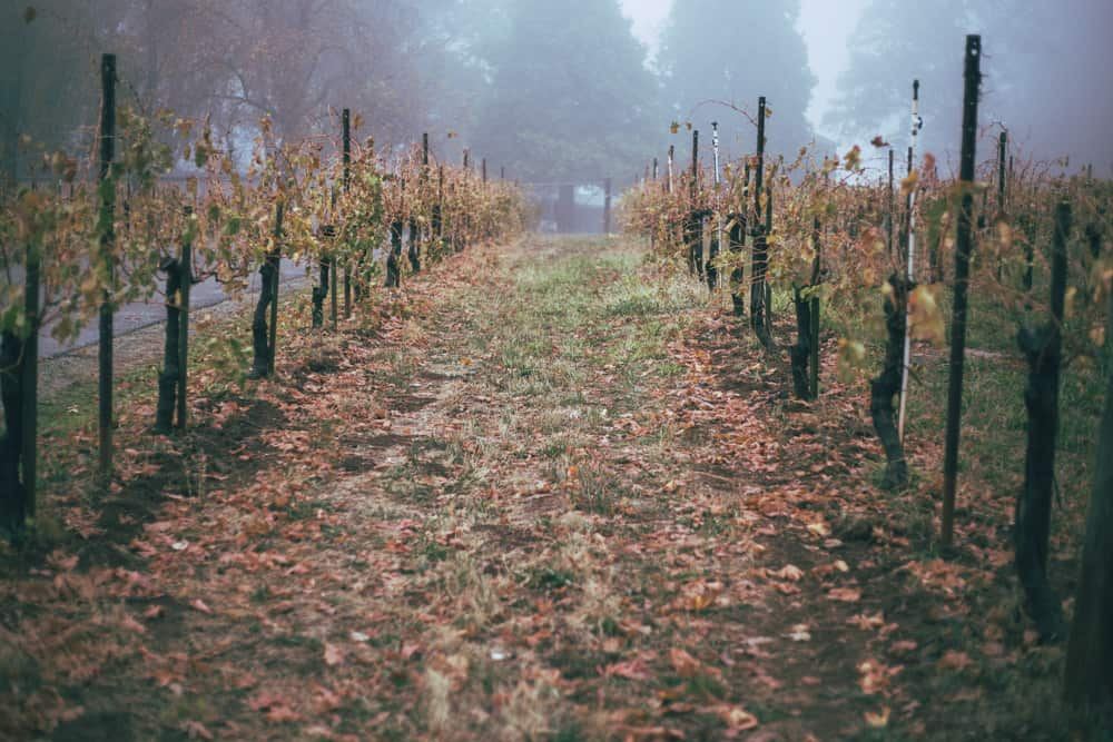Vineyard at Apple Hill in the fall