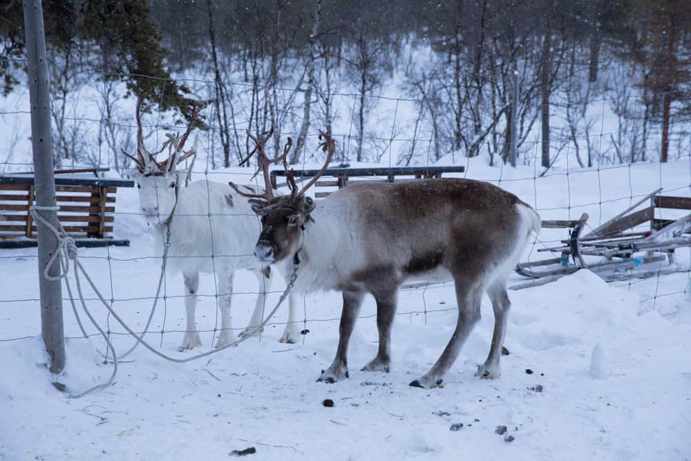 Reindeer in Abisko, Sweden
