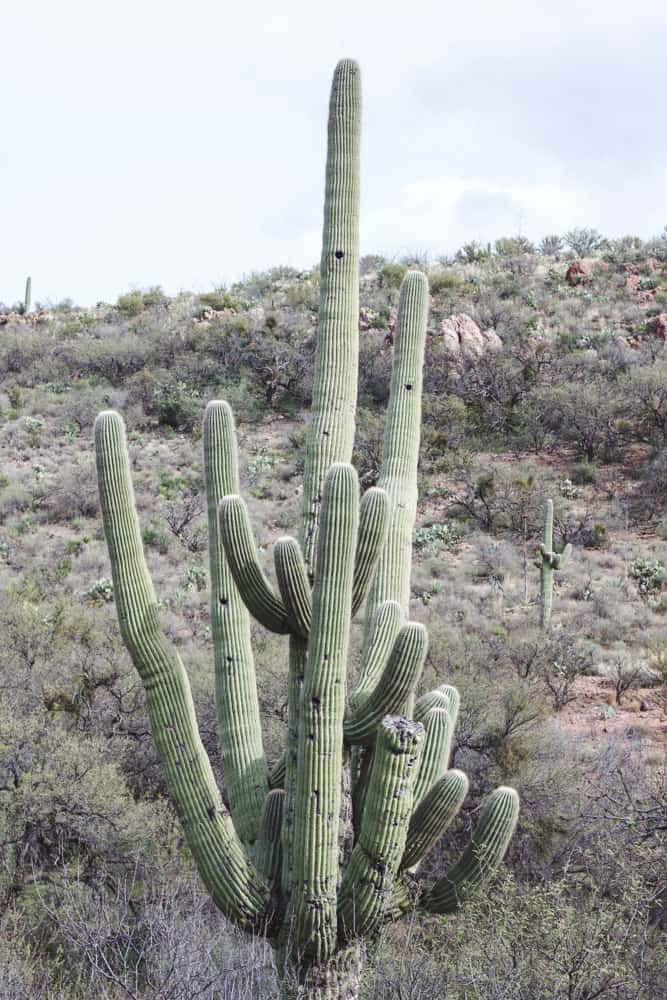 Saguaro Cactus; Cacti of the Southwest