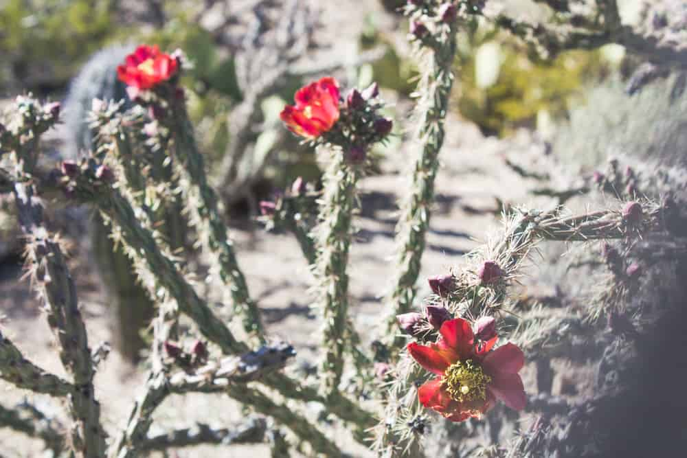 Cholla Cactus; Cacti of the Southwest