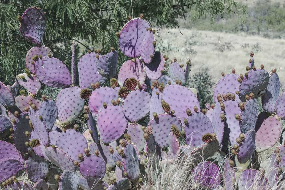 Purple Prickly Pear Cactus; Cacti of the Southwest