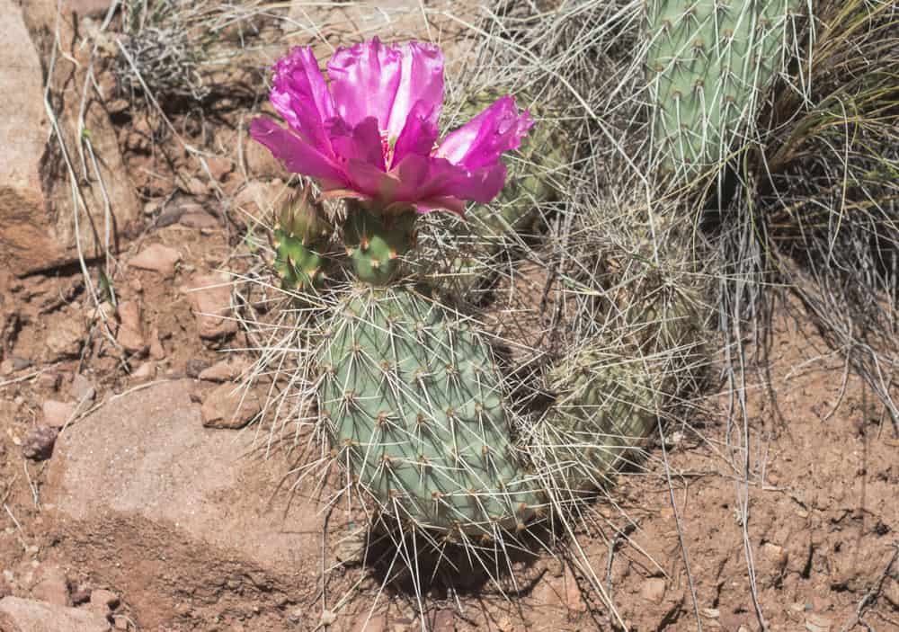 Prickly Pear Cactus; Cacti of the Soutwest