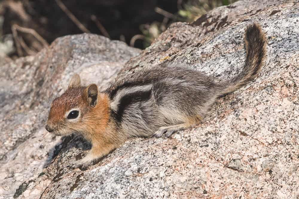Golden-mantled Ground Squirrel on a rock (orange head and black and white stripe on grey body) at Lake Sabrina near Mammoth in the Eastern Sierras
