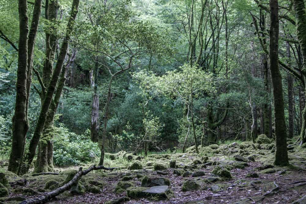 Forest scenery in Killarney National Park on the hike up Torc Mountain