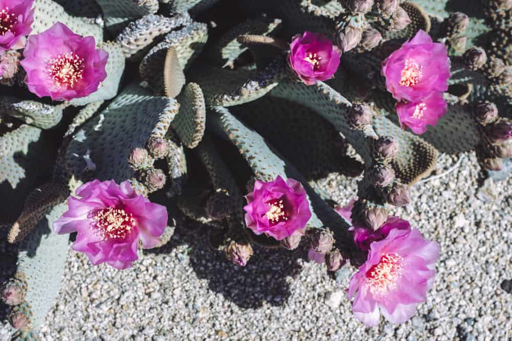 Beavertail Cactus in Joshua Tree National Park in California