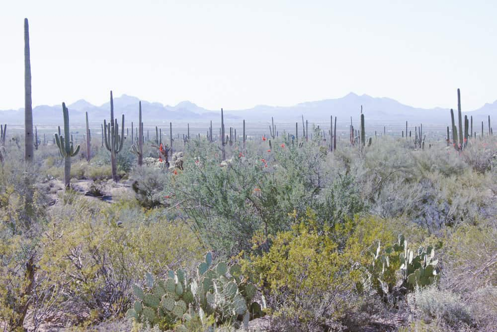 Cacti, plants, and mountains in the background in Saguaro National Park in Arizona