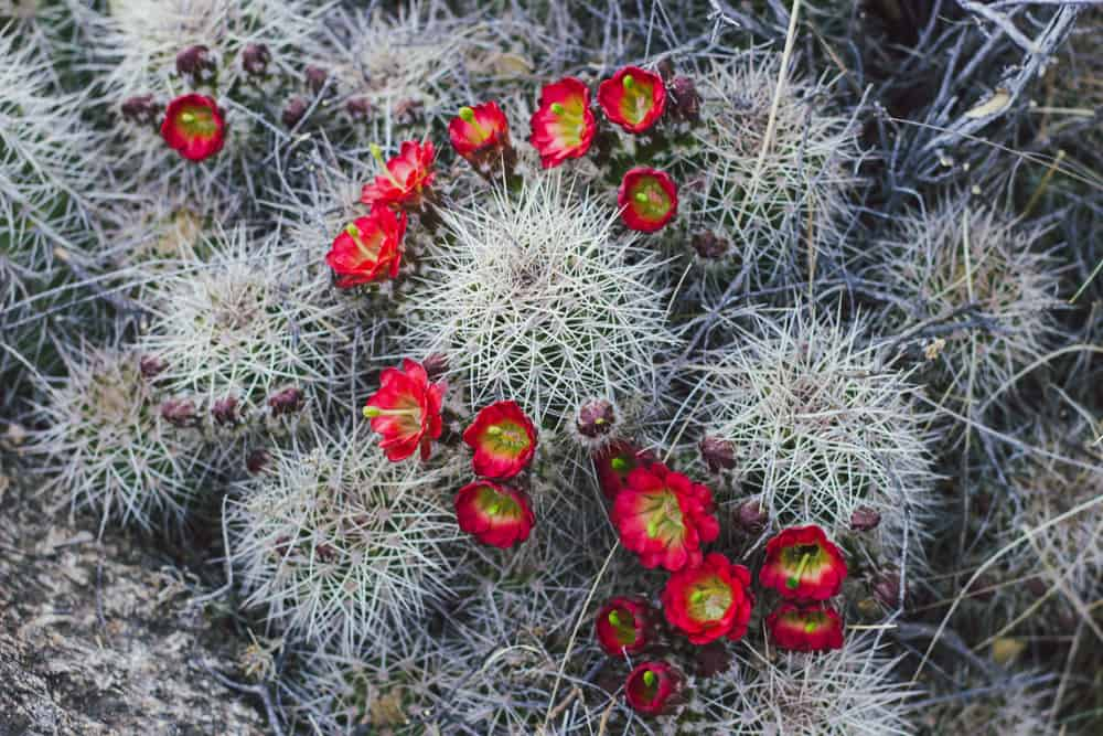 Claret Cup Hedgehog Cactus in Arizona