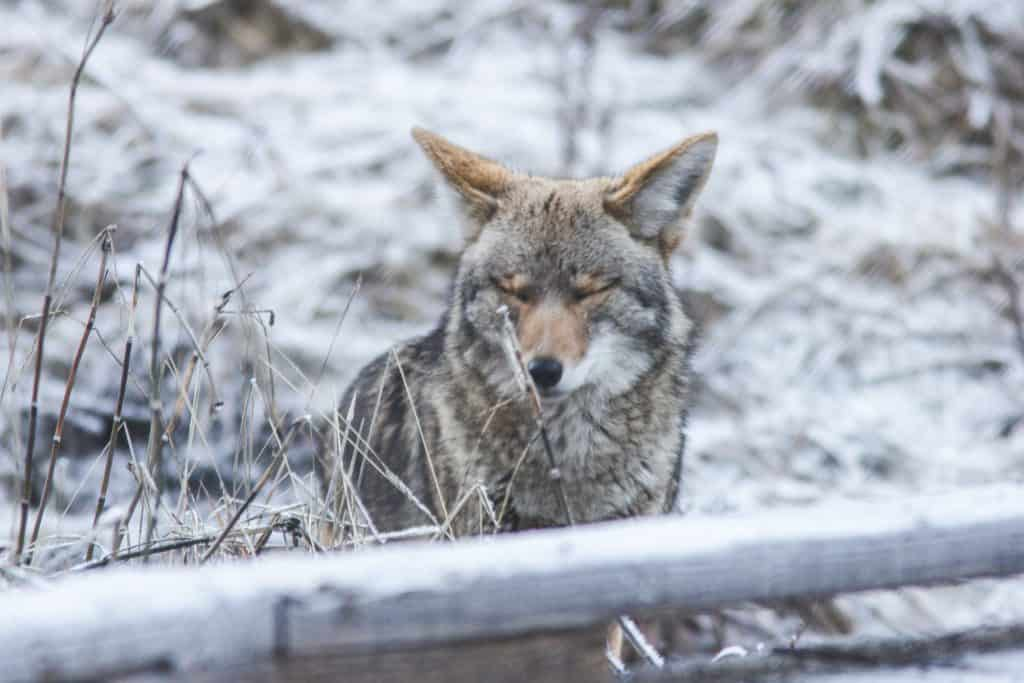 Coyote in Yosemite National Park in winter