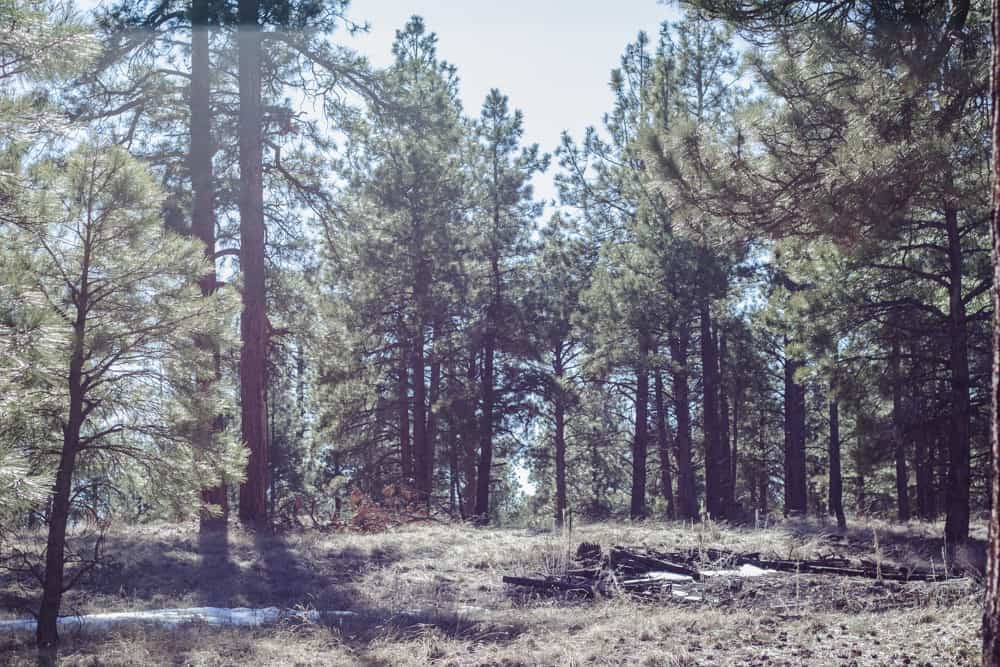 Urban Trail in Flagstaff, Arizona has Ponderosa Pines