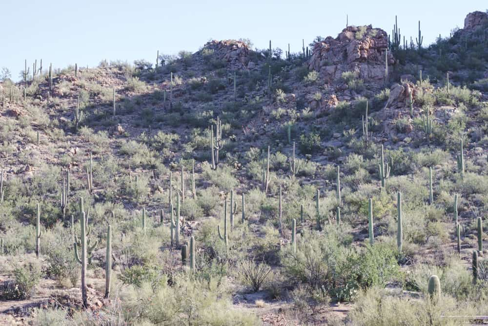 Saguaro National Park in Arizona
