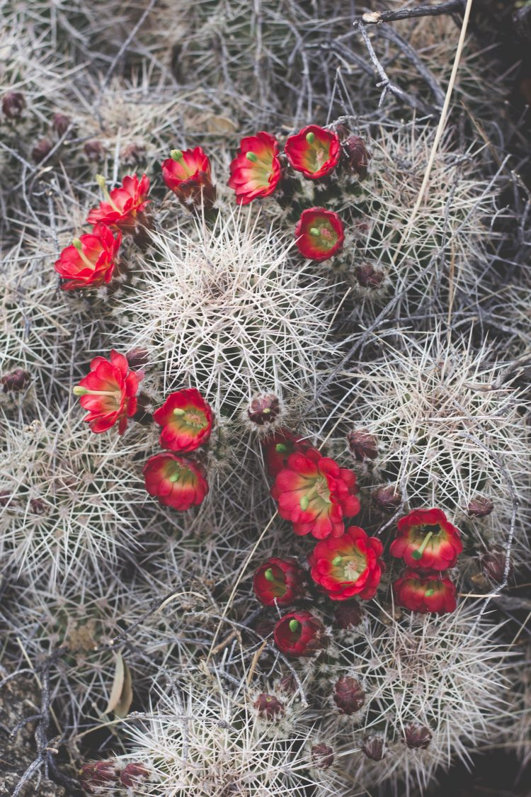 Claret Cup Hedgehog Cactus in Arizona with red flowers