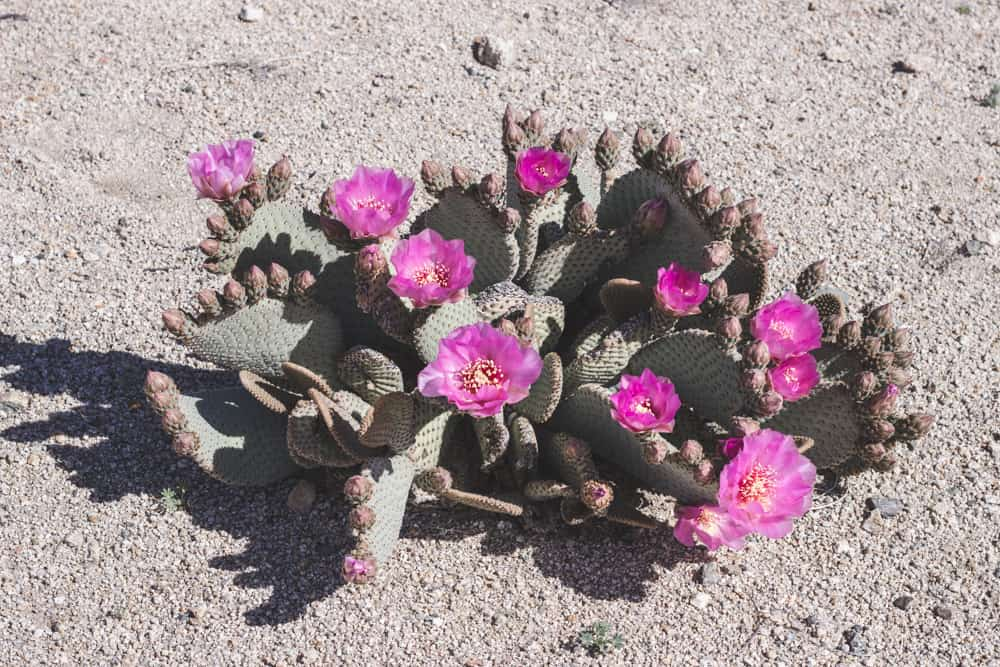 Beavertail Cactus; Cacti of the Southwest
