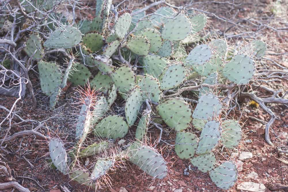 Prickly Pear Cactus; Cacti of the Southwest
