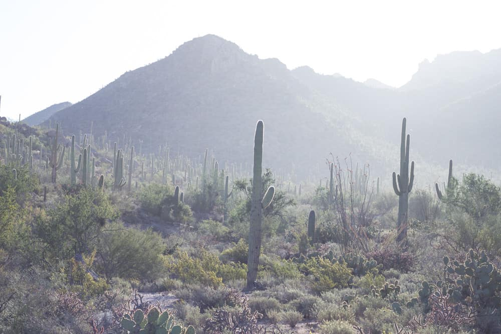 Saguaros in Saguaro National Park in Arizona; Common Cacti of the Southwest