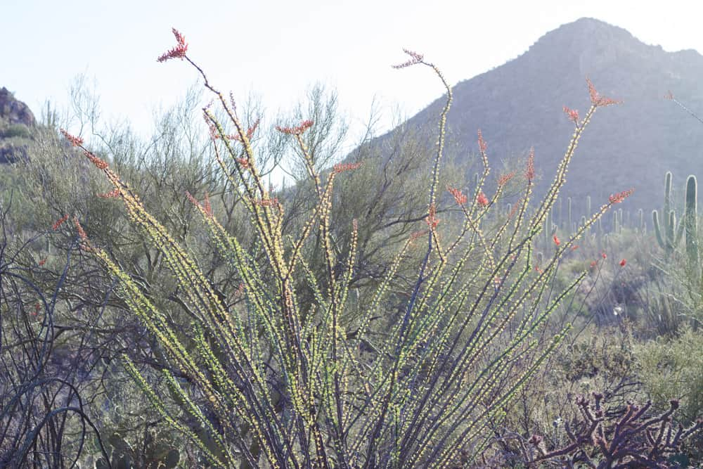 Ocotillo in Arizona