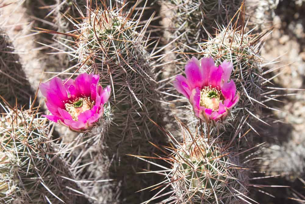 Engelmann's Hedgehog Cactus; Cacti of the Southwest