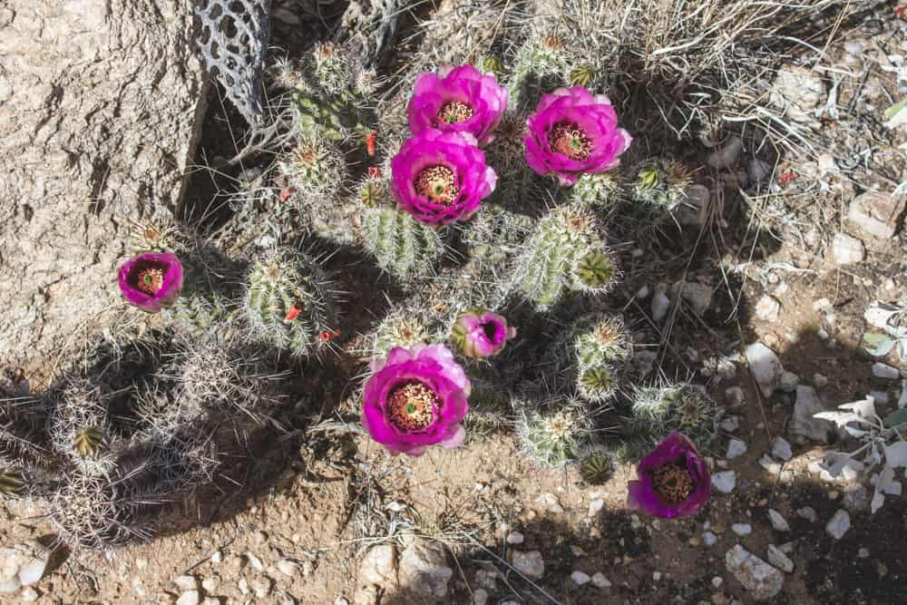 Hedgehog Cactus; Cacti of the Southwest