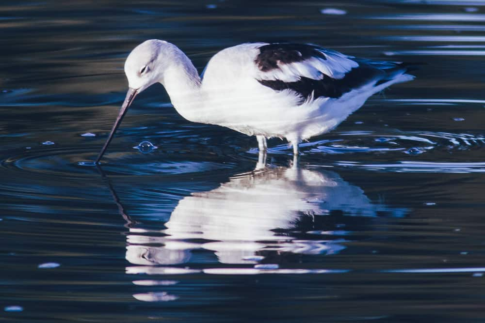 American Avocet in the water in the wetlands