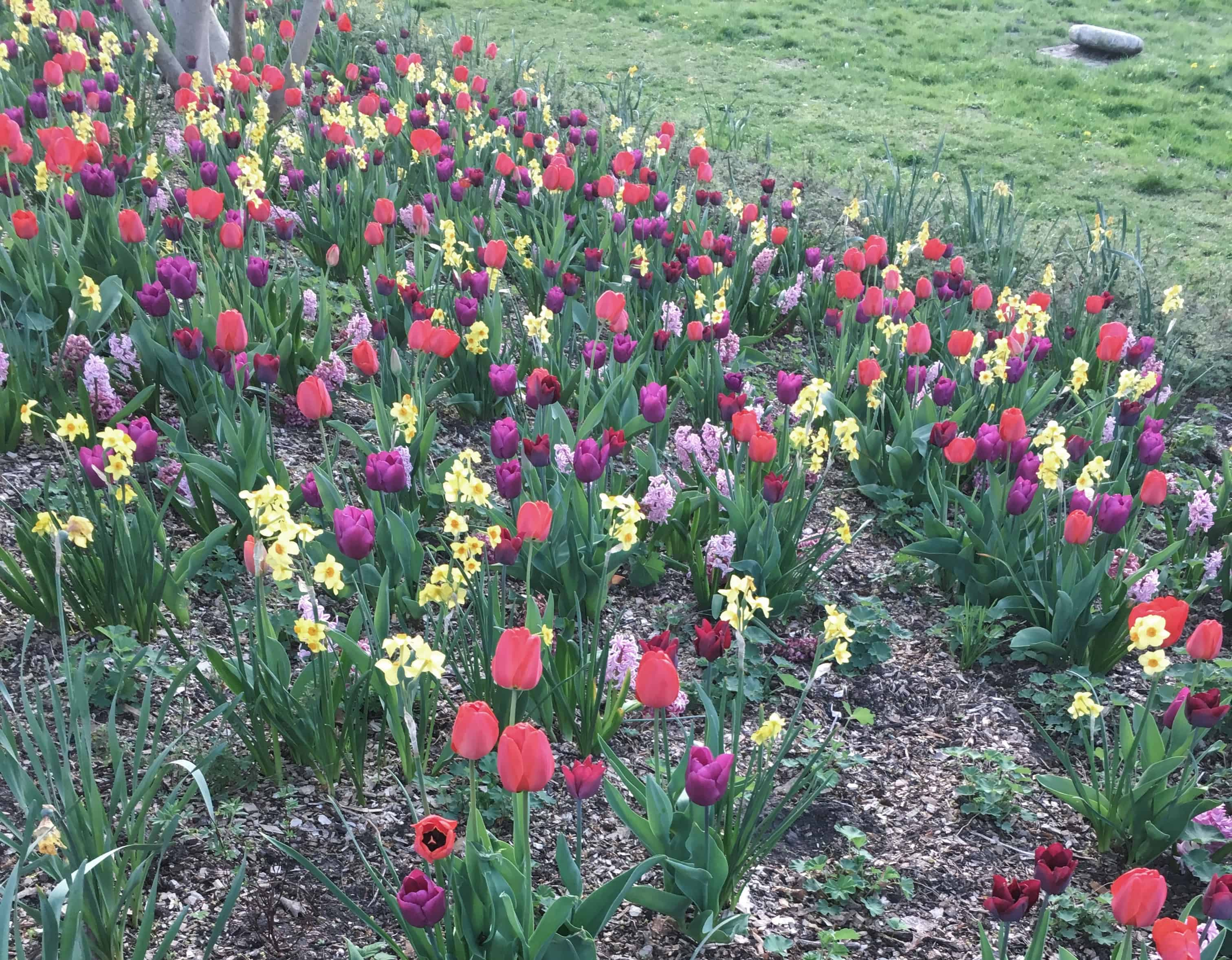 Tulips and daffodils are blooming in many parks during the spring in Hamburg, Germany