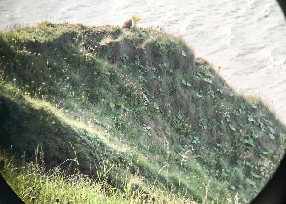 Peregrine Falcon on the cliffs in Saltburn-by-the-Sea, England
