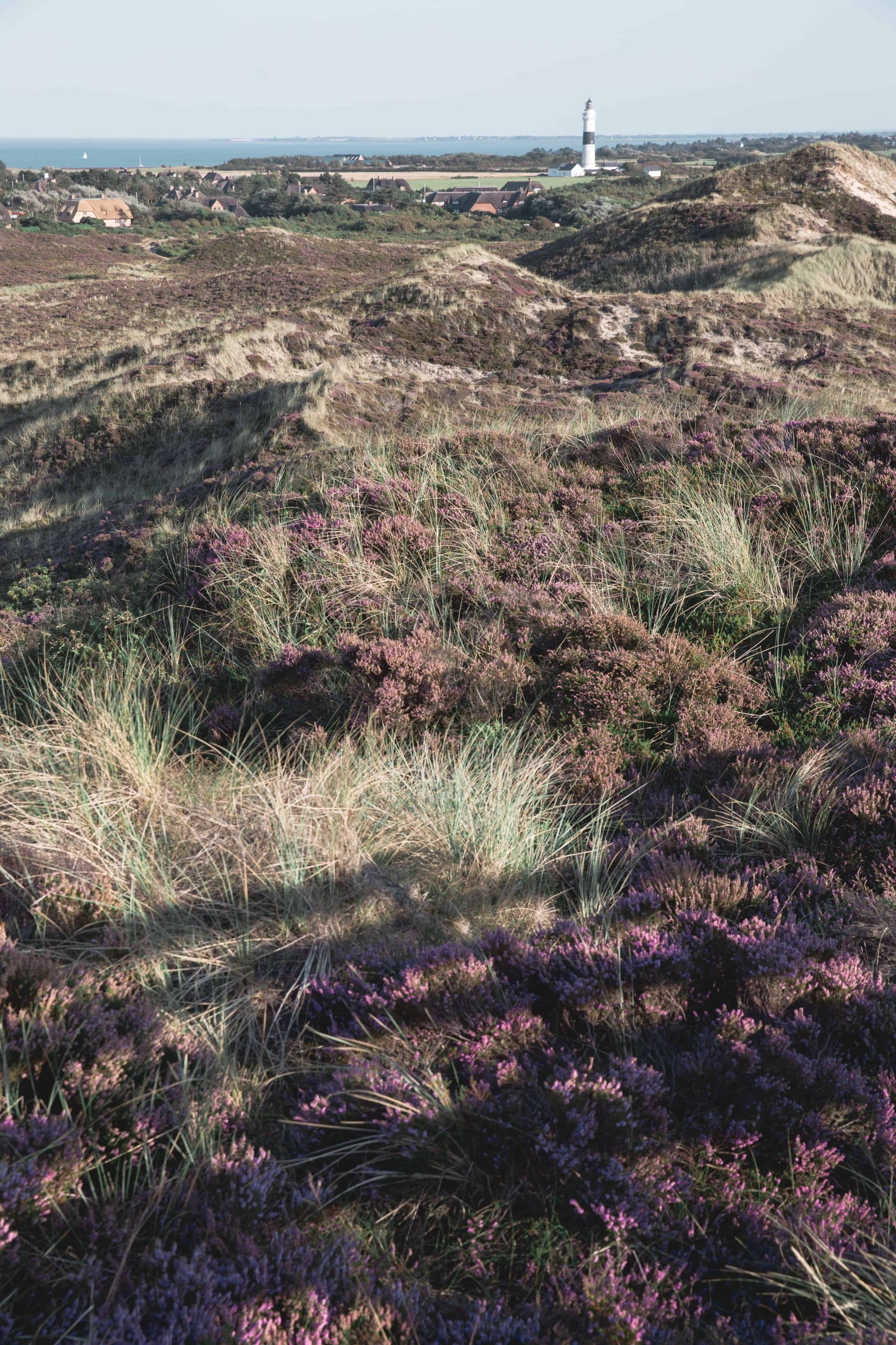 Purple heather and lighthouse in Sylt in Germany