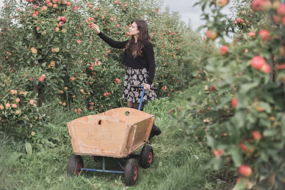 Apple picking at Herzapfelhof Lühs in Altes Land, Germany. Apple season is full swing in fall and it's a great day trip from Hamburg!