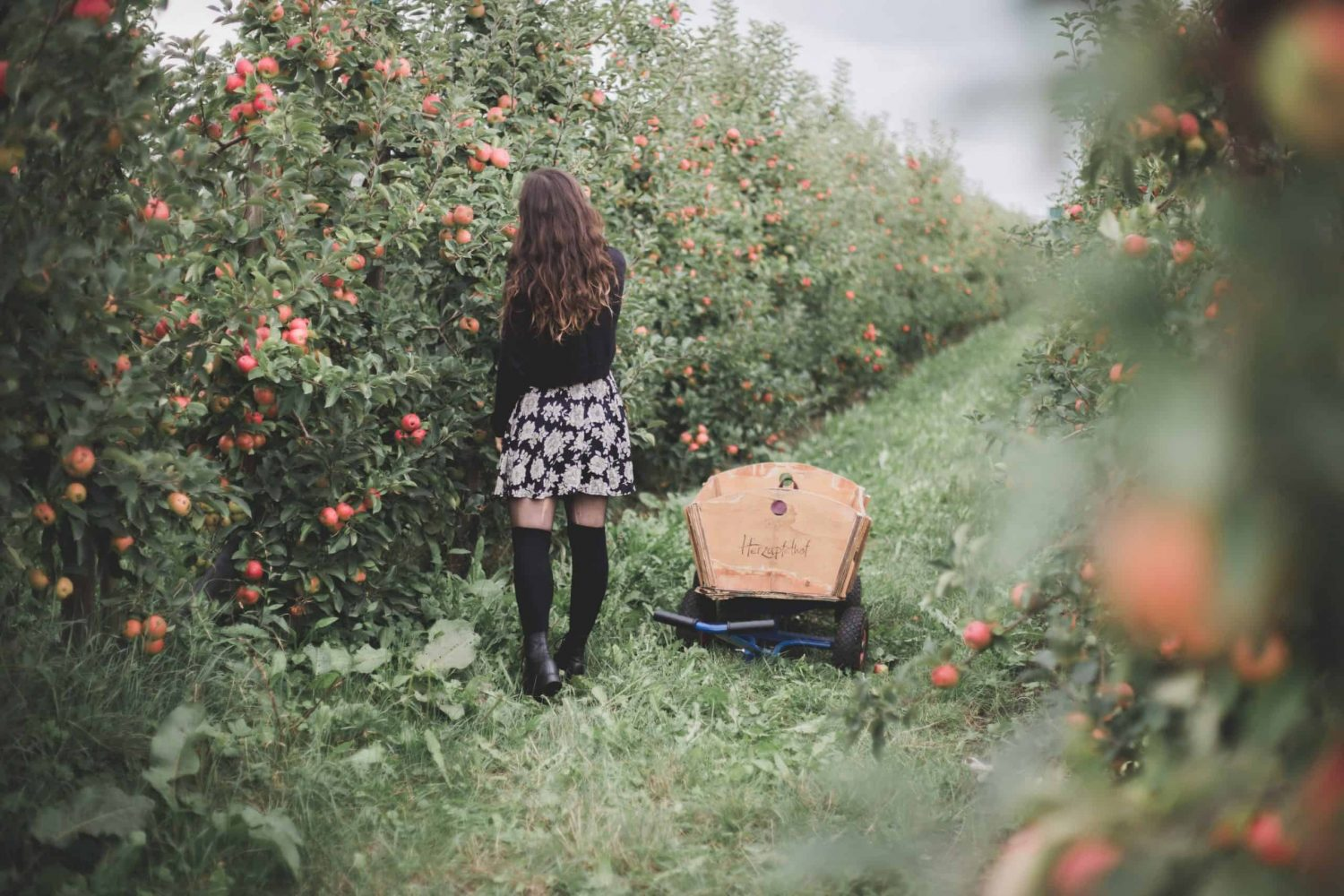 Picking apples at Herzapfelhof Lühs in Altes Land in Germany. Altes Land is a really cool destination for 2020!