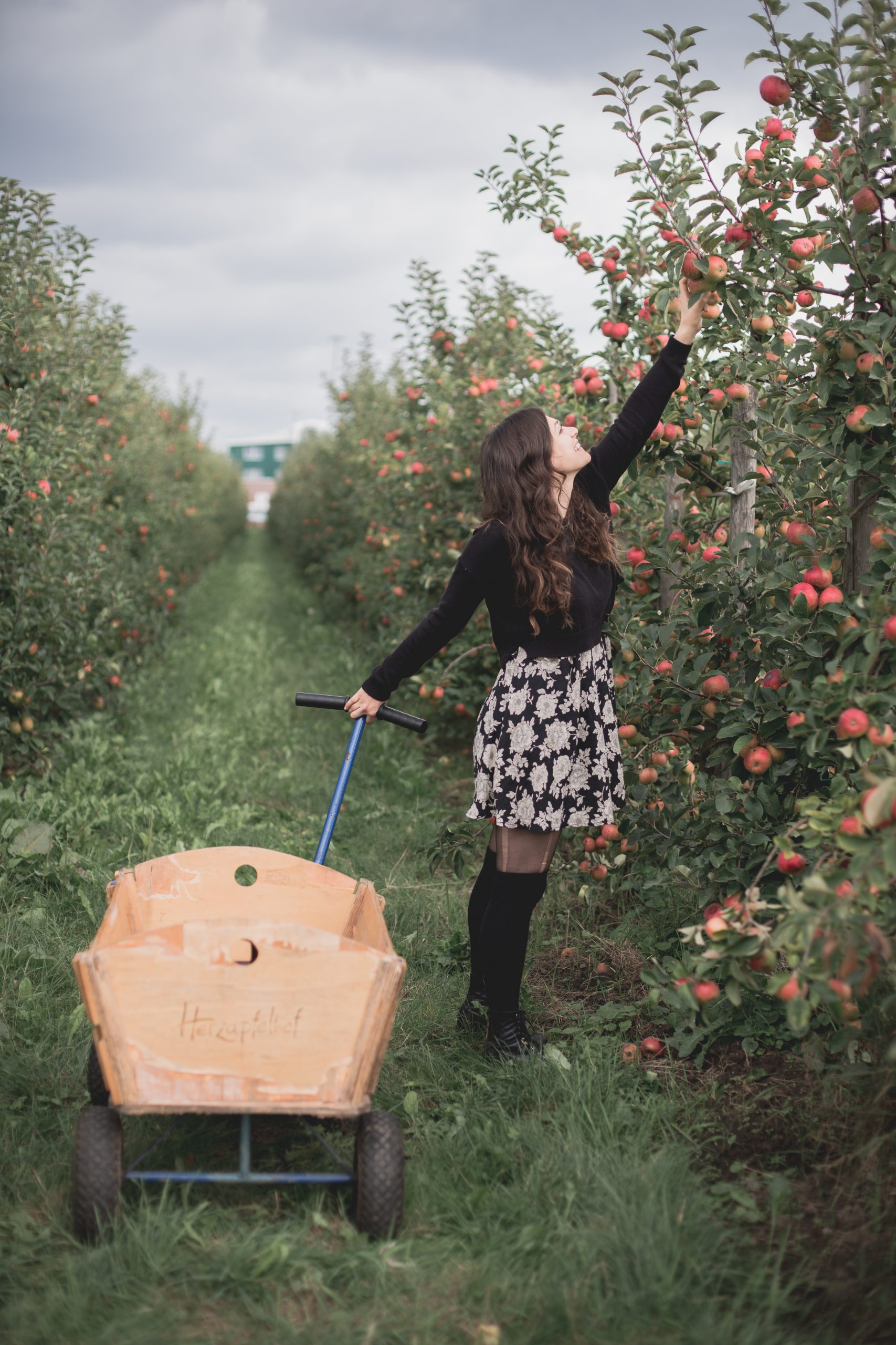 Kelsey reaching for an apple in an apple orchard in Altes Land, Germany