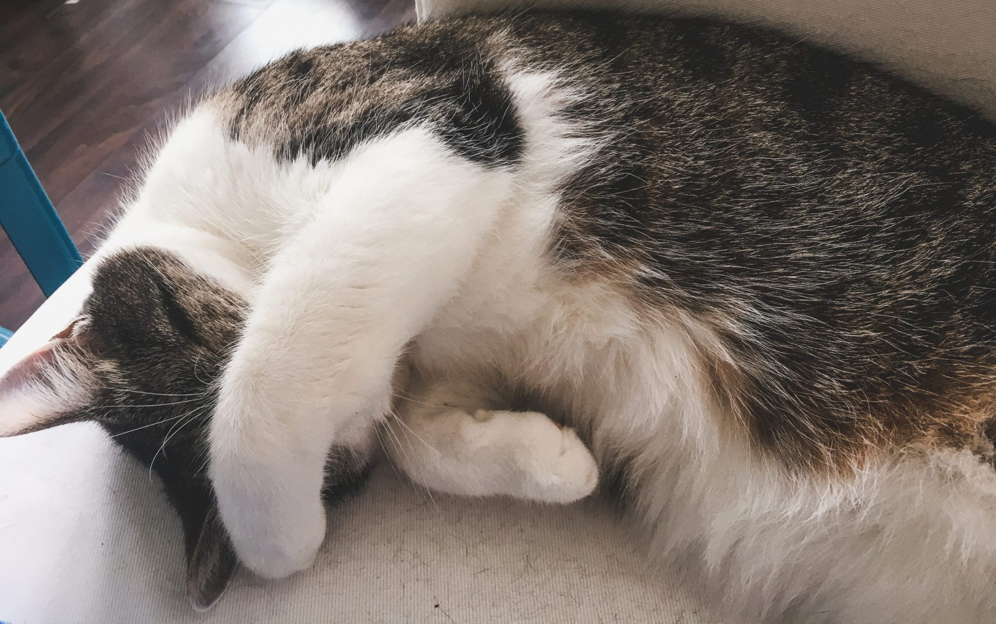 Cute black, grey, and white cat with paw over its face