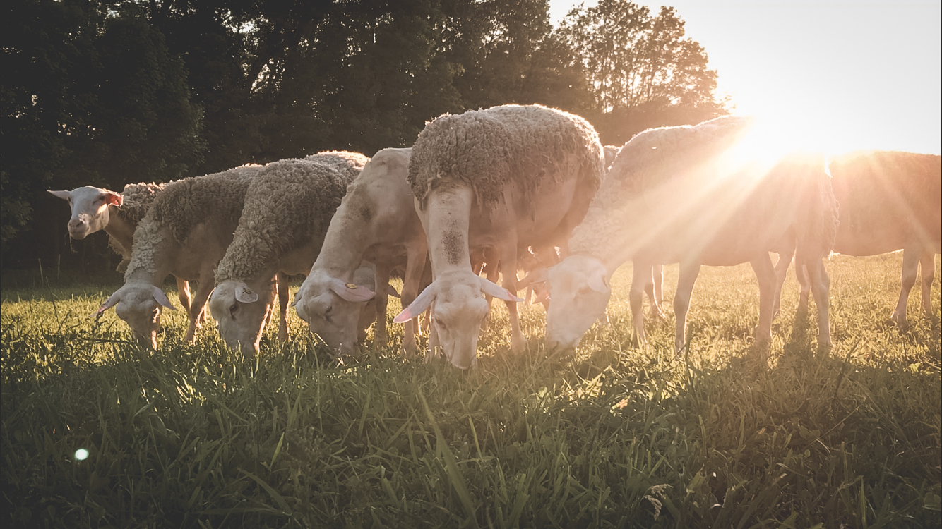 Close up of 6 sheep eating grass in a pasture with the sun shining on them.