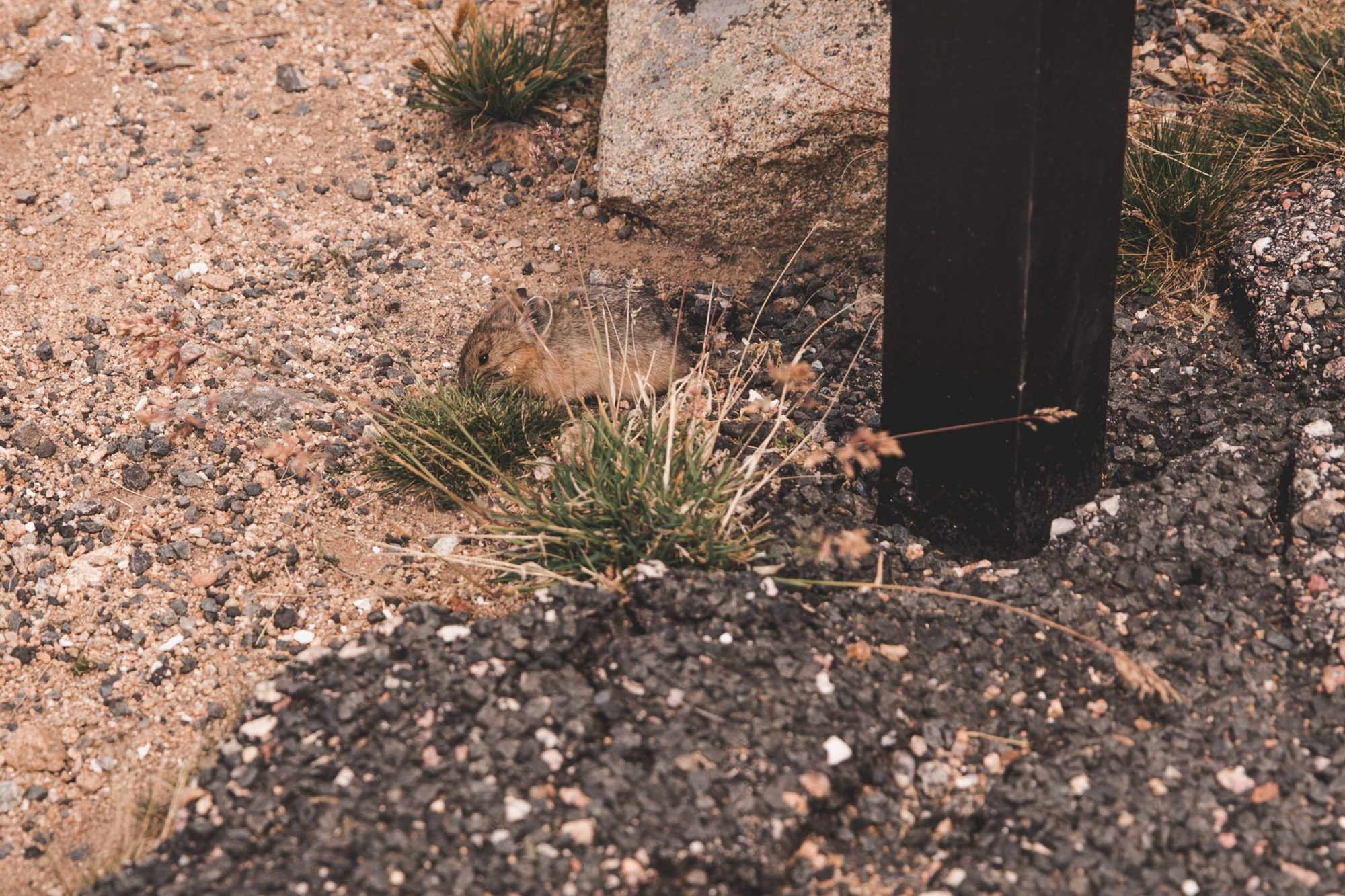 Pika on the Tundra Communities Trail in Rocky Mountain National Park