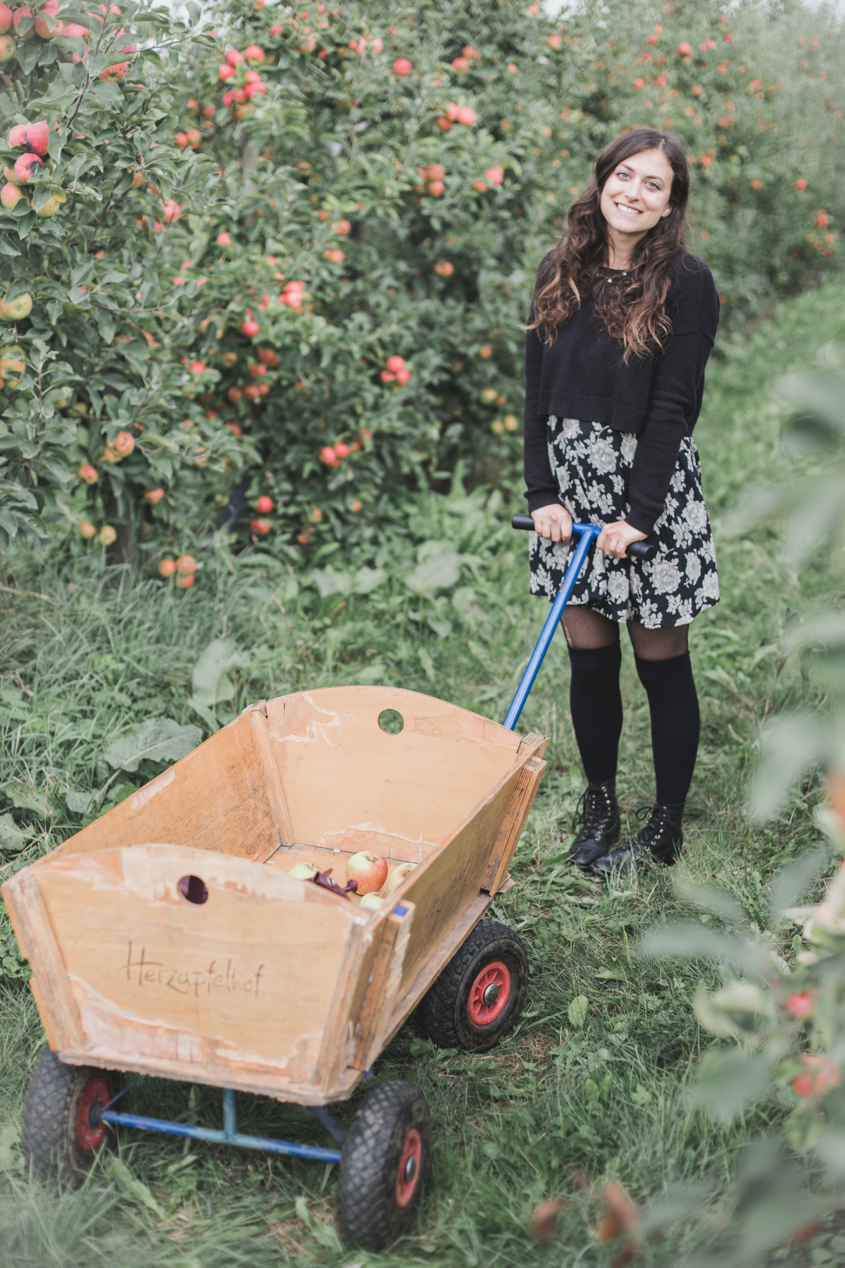 Kelsey with wooden cart with apples in it surrounded by apple trees in Altes Land, Germany