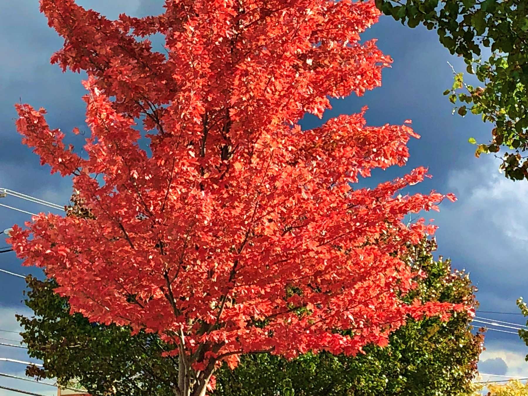 A tree with bright red leaves in fall in the Hudson Valley