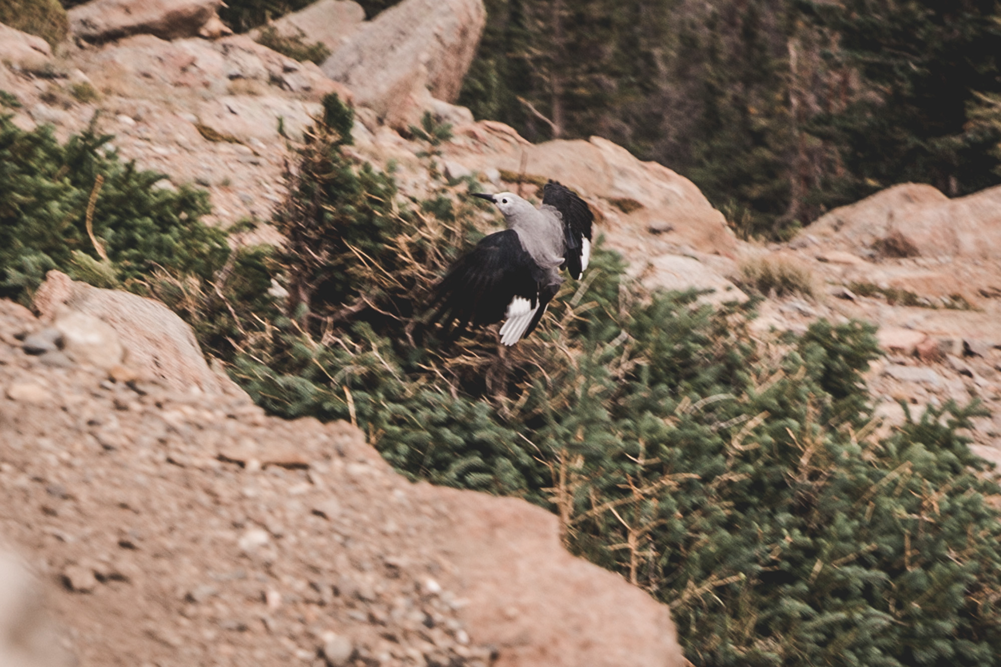 Clark's Nutcracker flying at the Rainbow Curve Overlook in Rocky Mountain National Park