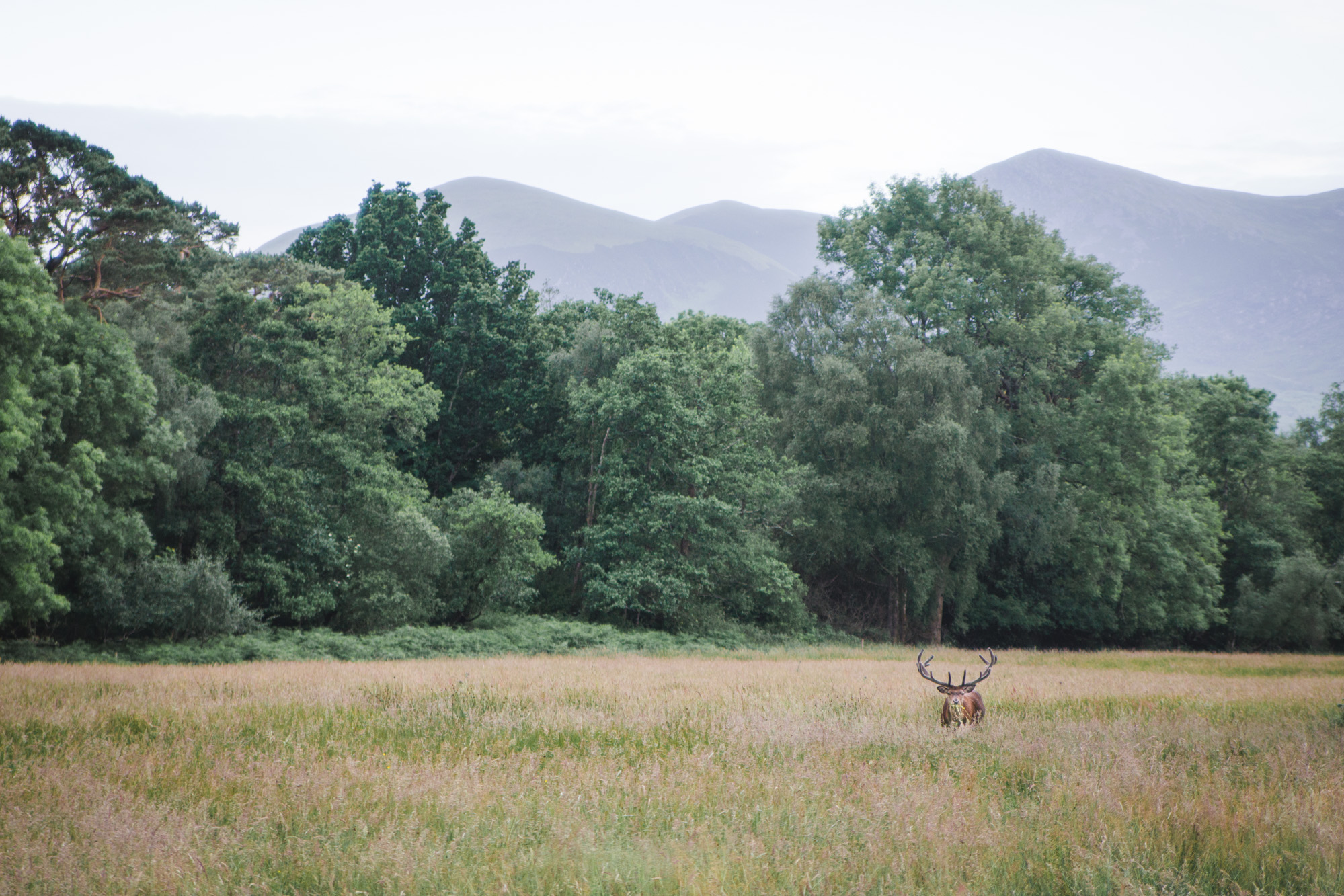 Buck (male deer with antlers) in a field surrounded by trees and mountains in Killarney National Park in Ireland