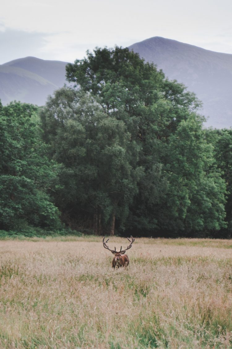 Buck in a field surrounded by trees and mountains in Killarney National Park in Ireland