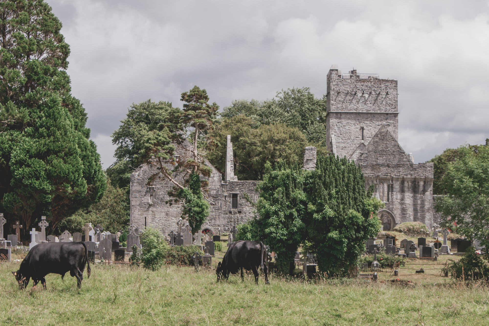Muckross Abbey ruins in Killarney National Park in Ireland with cows in the field and gravestones