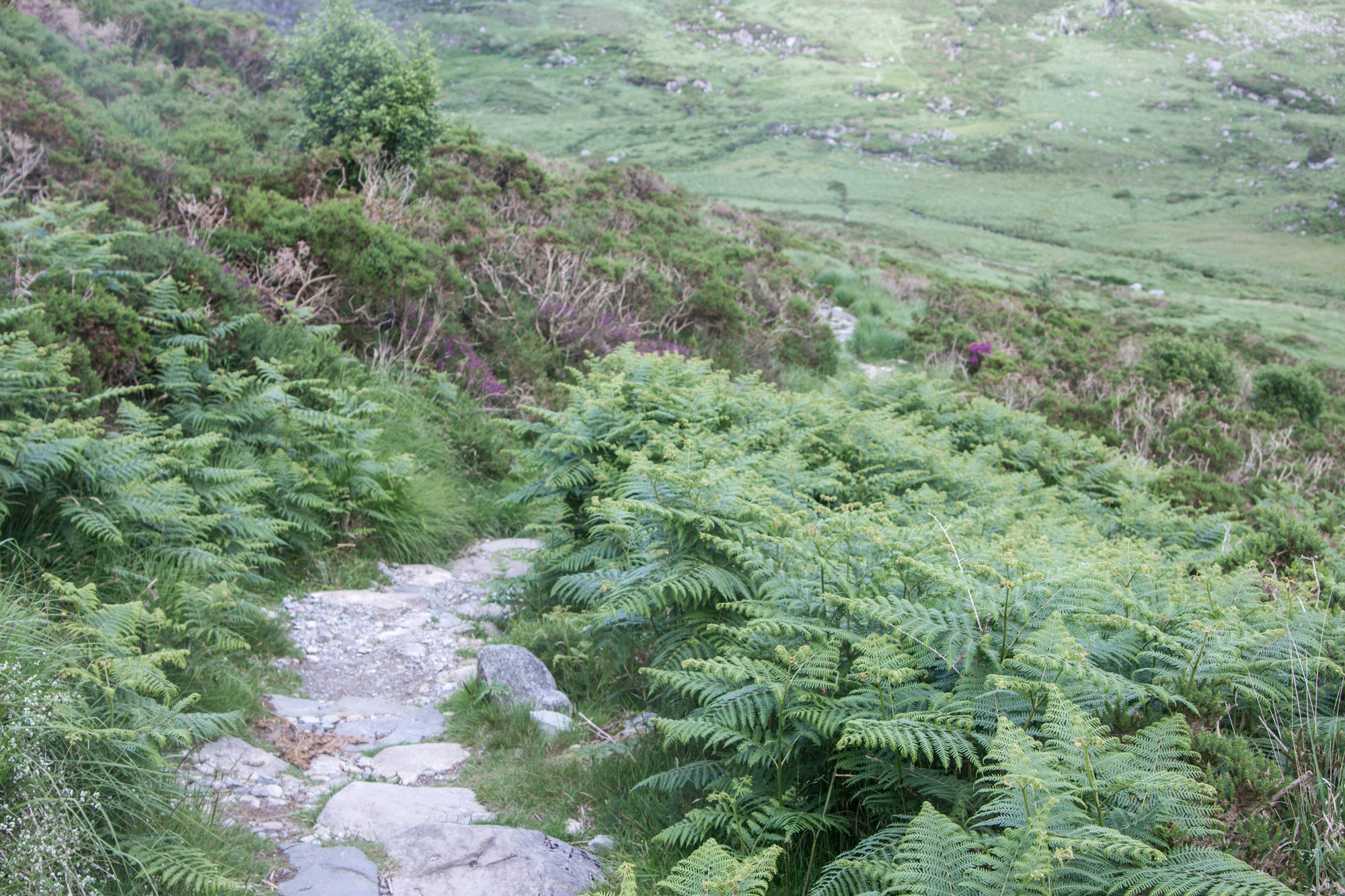 Stone path going down the Torc Mountain Trail in Killarney National Park in Ireland surrounded by ferns and grass