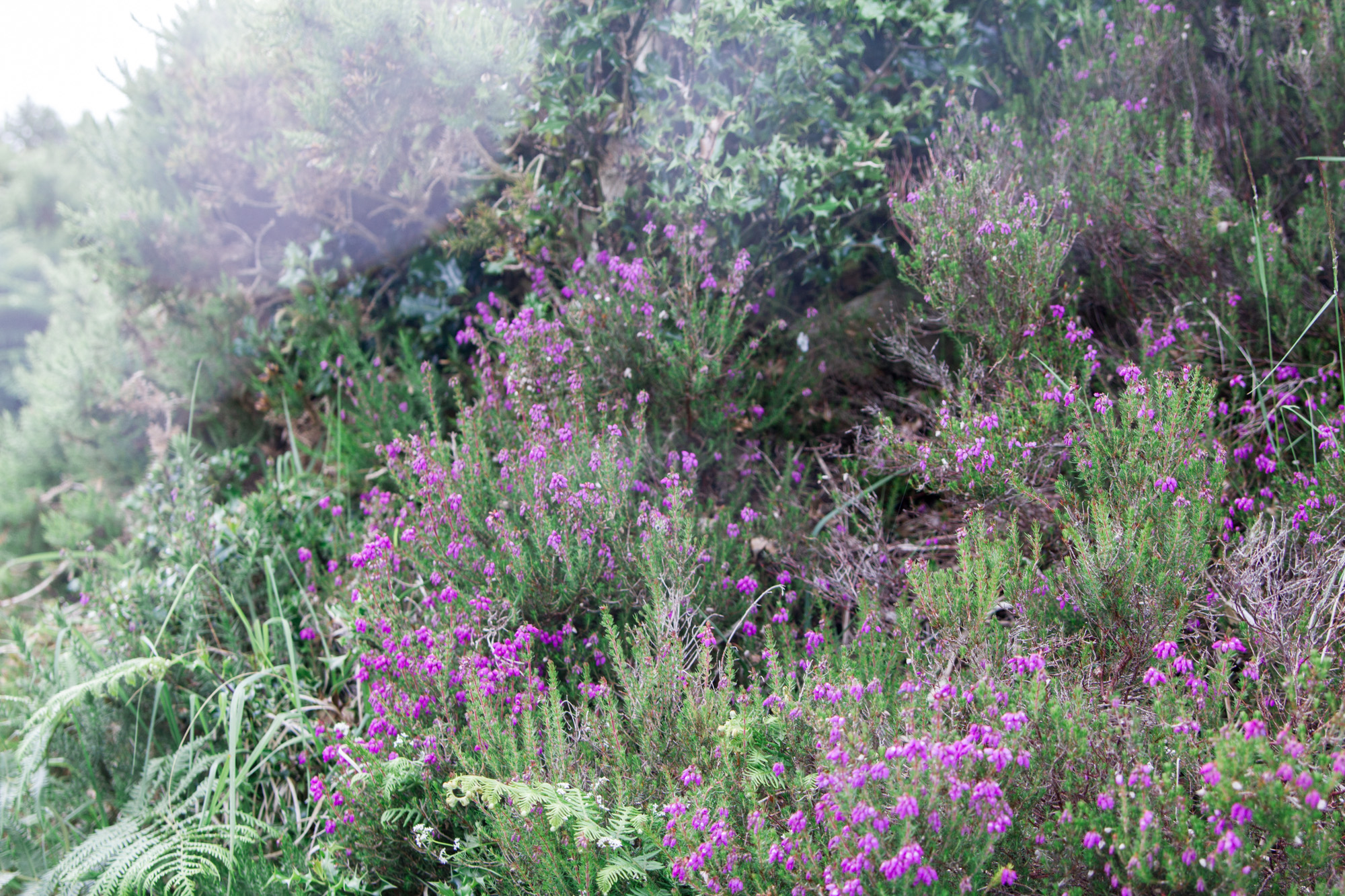 Purple flowers surrounded by plants in Killarney National Park
