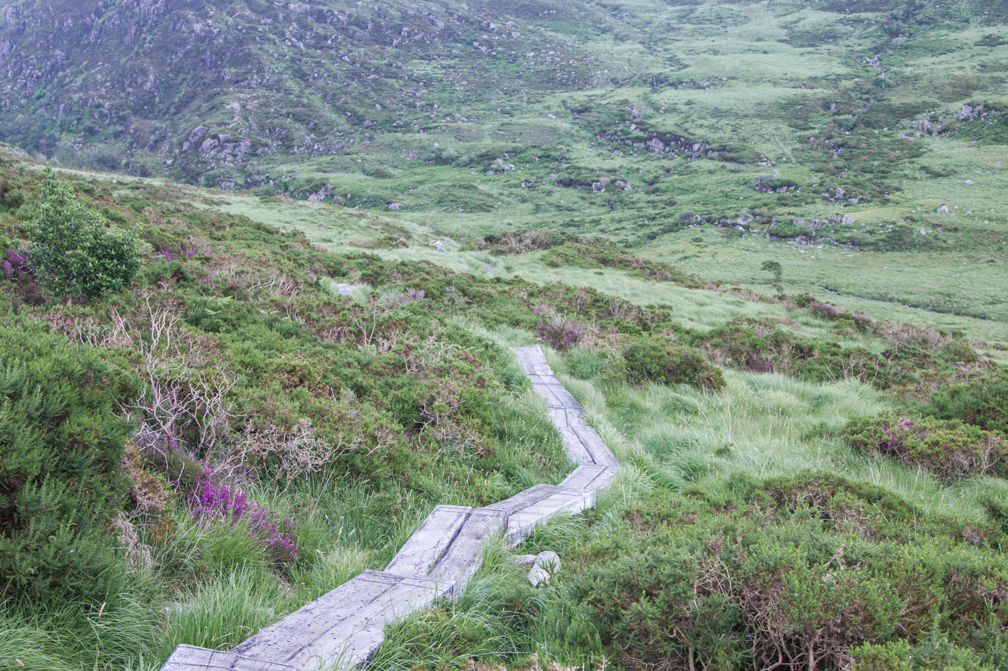 Wooden Path up Torc Mountain In Killarney National Park in Ireland surrounded by grass, plants, and purple flowers