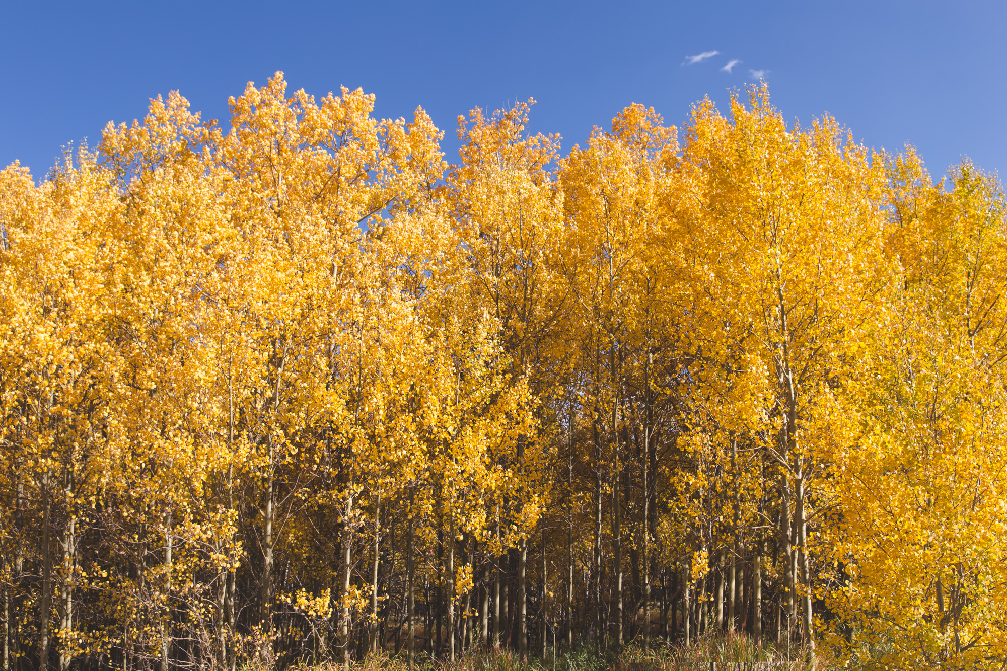 The Burning Bear Trail on the Guanella Pass in Colorado is lined with yellow aspen trees in the fall!