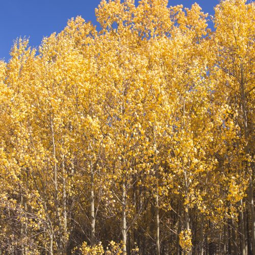 Yellow Aspens on the Burning Bear Trail on the Guanella Pass in Colorado