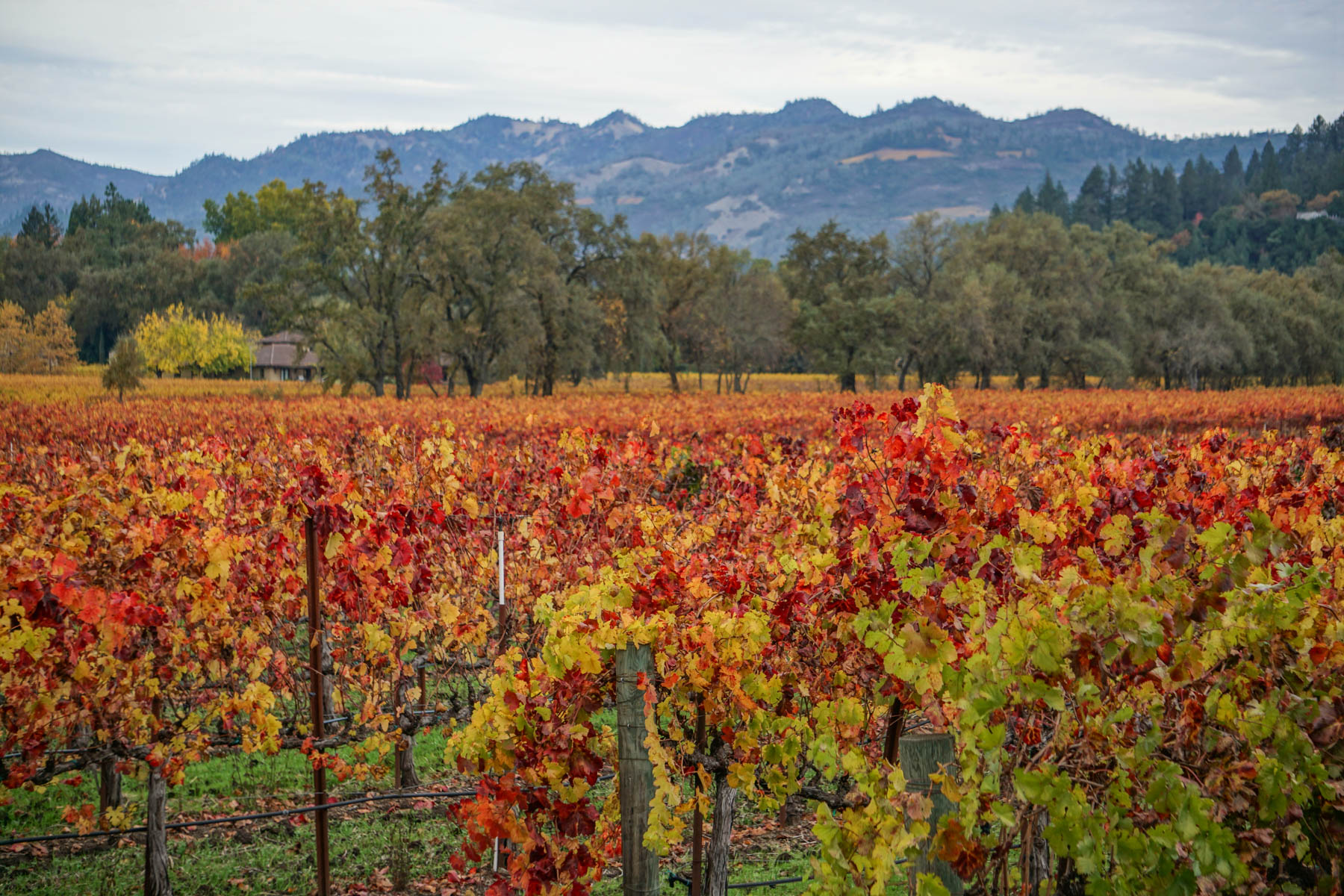 Red Napa Valley Vineyards in fall surrounded by trees and mountains