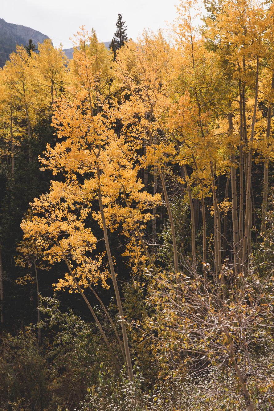 Yellow Aspens in Fall on Guanella Pass in Colorado