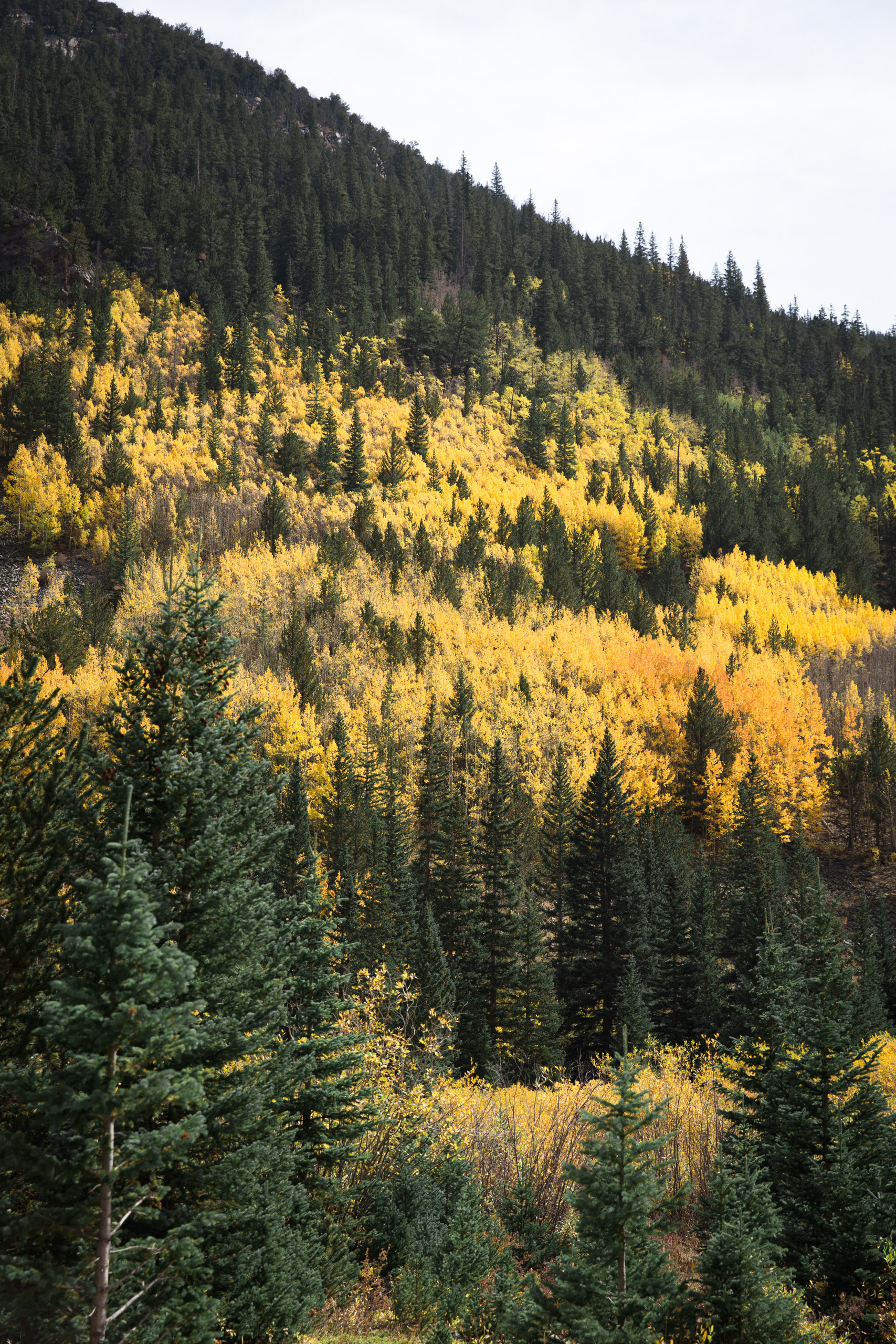 Guanella Pass in Colorado is full of yellow aspen trees and green pines