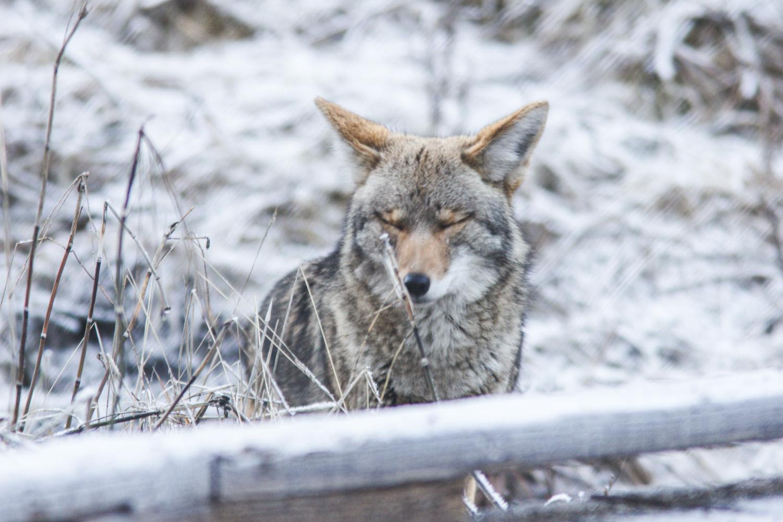 Coyote in Yosemite in the snow in Winter