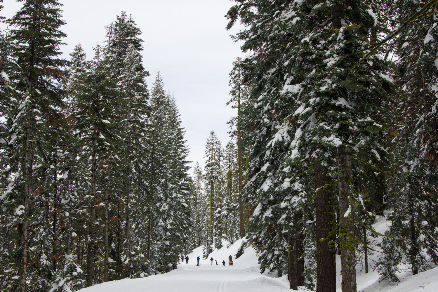 People snowshoeing on a snowy trail in Yosemite surrounded by snowy, tall pine trees